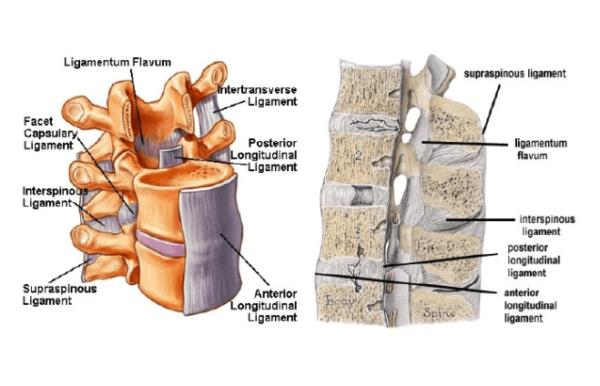 Ligamentum flavum diagram