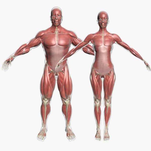 Male vs female muscles.
